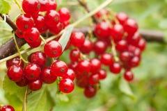 Redcurrant φρούτα στο θάμνο Στοκ φωτογραφία με δικαίωμα ελεύθερης χρήσης
