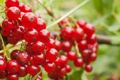Redcurrant φρούτα στο θάμνο Στοκ εικόνες με δικαίωμα ελεύθερης χρήσης