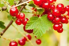 Redcurrant φρούτα στο θάμνο Στοκ Εικόνες