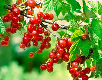 Redcurrant. Fresh red currants in the middle of summer Royalty Free Stock Image