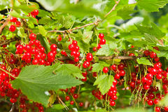 Redcurrant Stock Images