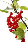 Redcurrant Royalty Free Stock Images