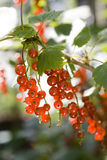 Redcurrant. Branch with ripe berries, red currants Royalty Free Stock Photography