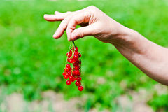 Redcurrant. Bush picked red currants in the hands Royalty Free Stock Photos