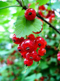 Redcurrant. Closeup of ripe Redcurrant berries Stock Photography