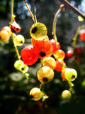 Redcurrant. Macro with sun lights Stock Photography