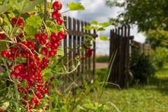 Redcurrant Foto de Stock Royalty Free