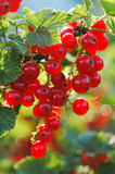 Redcurrant Royalty Free Stock Photos