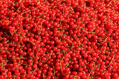 Redcurrant abudance Stock Images