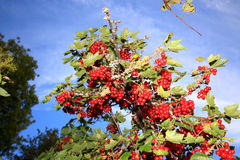 Redcurrant against a blue sky Stock Photography