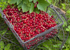 Redcurrant in basket Stock Photos