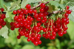 Redcurrant berries Stock Image