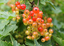 Red currant berries Stock Image