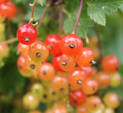 Redcurrant berries. Closeup picture of redcurrant berries Royalty Free Stock Photography