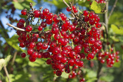Redcurrant berries Royalty Free Stock Photo