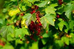 Redcurrant berries royalty free stock photos