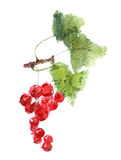Redcurrant berries watercolor image Stock Photo