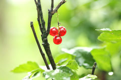 Redcurrant berry Royalty Free Stock Photo