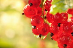 Redcurrant on brunch Stock Image
