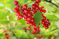 Redcurrant on brunch Stock Photo