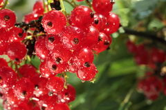 Redcurrant brunch. With water drops Stock Photos