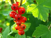 Redcurrant bunch Stock Image