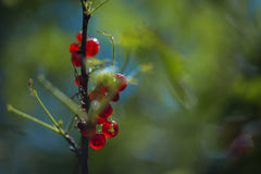 Redcurrant bunch ambiance. Branch of ripe redcurrant growing lit with sunlight Stock Images