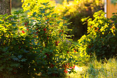 Redcurrant bush backlit - Ribes Rubrum Stock Photo
