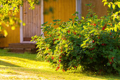 Redcurrant bush on a backyard Stock Images