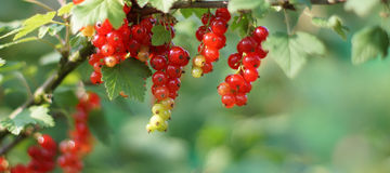 Redcurrant on Bush Stock Images