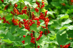 Redcurrant bush Royalty Free Stock Photography