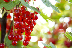 Redcurrant bush Stock Photos