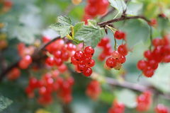 Redcurrant bush Stock Photography
