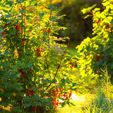 Redcurrant bush during a summerday Royalty Free Stock Photography