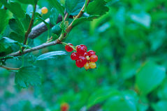 Redcurrant bushes. The redcurrant (or red currant), Ribes rubrum, is a member of the genus Ribes in the gooseberry family Grossulariaceae, native to parts of Royalty Free Stock Image