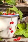 Redcurrant. Royalty Free Stock Images