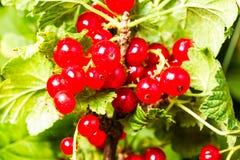 Redcurrant Stock Photo