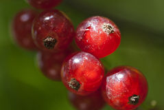 Redcurrant fruits Stock Image