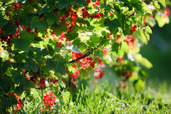 Redcurrant in garden Stock Photography