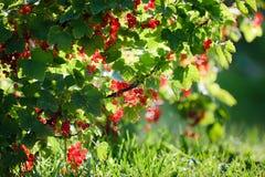 Redcurrant in garden Stock Photography