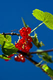 Redcurrant in garden. Red currant in garden with blue skies Royalty Free Stock Image