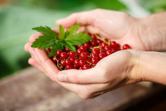 Redcurrant picking Royalty Free Stock Images