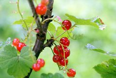 Redcurrant. red currant. Ribes rubrum. Royalty Free Stock Images