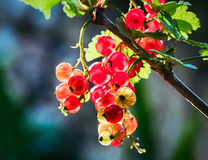 Redcurrant. The redcurrant, or red currant Ribes rubrum is a member of the genus Ribes in the gooseberry family Royalty Free Stock Images