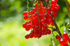 Redcurrant (Ribes rubrum) berry bunch Royalty Free Stock Image