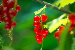 Redcurrant. Ripe red currant berries Stock Photo