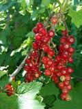 Redcurrantbär royaltyfri foto