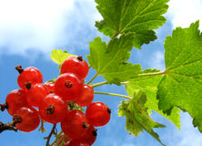 redcurrants Royaltyfria Foton