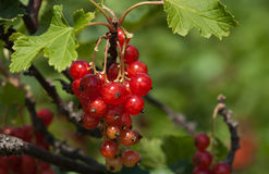 Redcurrants Foto de Stock