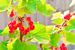 Redcurrants. Ripe redcurrants in the afternoon sunlight Stock Images